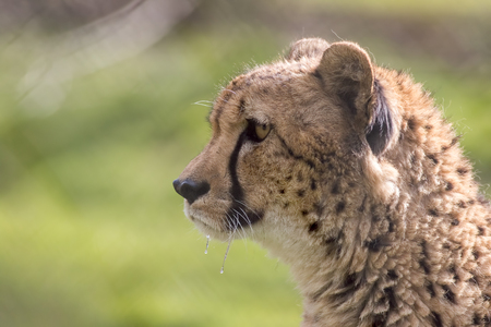 Hungry cheetah face in close-up profile with dripping saliva. Wild cat predator. Blurred background with copy space. Stock Photo