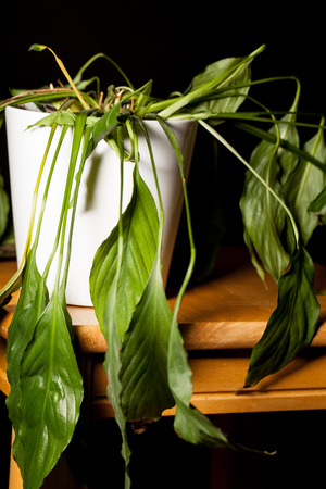 Close-up of dying dehydrated Peace Lilly house plant in pot. Wilting indoor pot-plant with drooping limp leaves. Banco de Imagens