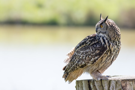 Beautiful European Eurasian eagle-owl bird of prey standing in profile with copy-space. Owl portrait countryside nature shot.  Imagens