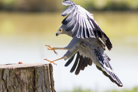 Falconry. Beautiful Gymnogene bird of prey in flight grabbing food. African harrier hawk landing for meat.
