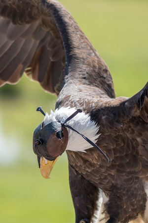 Falconry. Hooded bird of prey. American bald eagle on display with wings up and a leather hood covering its head. 스톡 콘텐츠