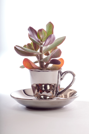 Succulent plant in silver espresso cup with saucer. Unusual design teacup plant pot. Pretty silver interior design plant-pot feature. 写真素材