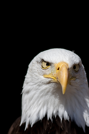 American psycho. Bald eagle national bird of USA looking crazy with cross eyes. Cross-eyed bird of prey as a conceptual issue representing madness.
