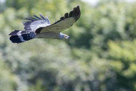 Beautiful gymnogene bird of prey flying. African harrier-hawk in flight in front of forest trees. Amazing nature and wildlife image with copy space.