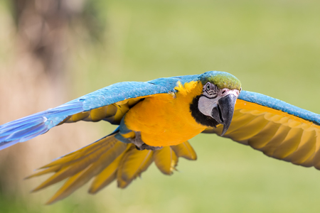 Close-up of blue and yellow gold Macaw parrot flying. Beautiful wild tropical bird in flight.