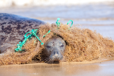 Plastic marine pollution. Seal caught in tangled nylon fishing net. This curious wild animal was attracted to the rope and net and enjoyed playing with it but did come into difficulty as it wrapped around the body. Stock Photo