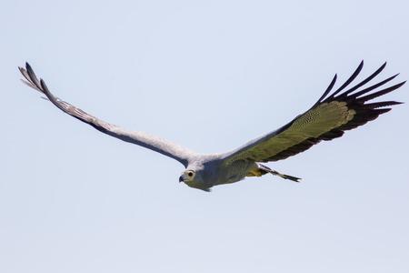 African harrier hawk in flight. Gymnogene bird of prey flying. Harrier hawk hunting with wings outstretched.