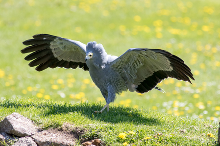 African harrier hawk (Polyboroides typus) bird of prey. Beautiful prehistoric looking animal standing on display with wings outstretched. Amazing Gymnogene raptor hunting on the ground.