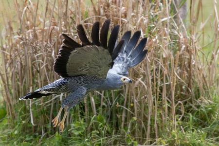 African harrier-hawk gymnogene (Polyboroides typus) bird of prey flying low over grassland. Nature and wildlife image. Standard-Bild