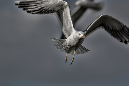 Urban wildlife. The birds. Painterly dark and eerie picture of a seagull flying and looking at the camera. Slightly surreal and sinister against a dream-like gray sky background with copy-space. 写真素材
