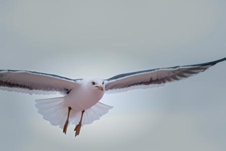 Möwe. Gemeinsames Seevogelnaturbild einer frei fliegenden Möwe. Symbol für Freiheit und Reinheit. Weißer Vogel fliegt mit ausgestreckten Flügeln.