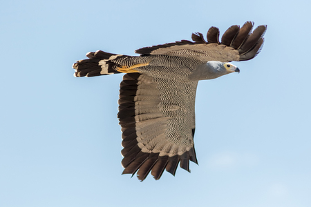 Falconry and ornithology. African harrier-hawk bird of prey isolated inflight. Harrier hawk gymnogene (Polyboroides typus) flying against plain blue sky. Majestic raptor in the air. Standard-Bild