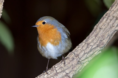 Garden wildlife. European Robin redbreast (Erithacus rubecula) song bird in close-up. Beautiful insectivorous British songbird close up.