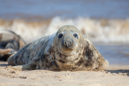 Grey seal portrait image. Beautiful marine mammal looking at camera. Gray seal (Halichoerus grypus) with spotty brown fur lying on a sandy beach. From the Horsey wild seal colony East Anglia UK