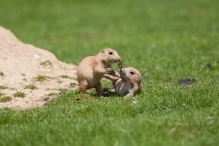Cute baby animals playing. Marmot prairie dogs having fun together.Young black-tailed prairie marmots play fighting on grass. Standard-Bild - 120942124