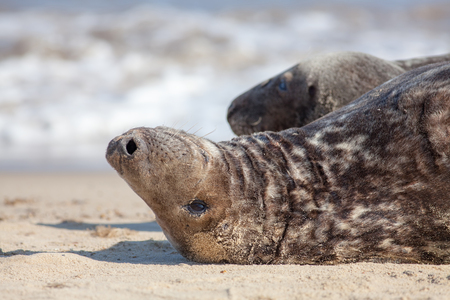Contemplating life. Seal lying down on its back thinking. Animal deep in thought. Philosophy meme image. Pondering the nature of existence. From the Horsey seal colony UK. Imagens