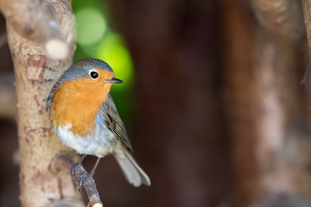 Robin redbreast (Erithacus rubecula). European garden bird in close up. Beautiful common wildlife.