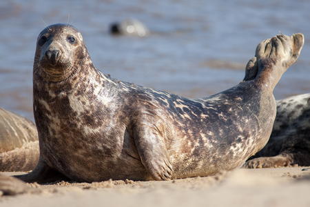 Adult grey seal (Halichoerus grypus), Marine mammal wildlife classic pose portrait image. Gray seal close-up laying on the beach looking at camera. From the Horsey wild seal colony Norfolk UK. Standard-Bild - 123443498