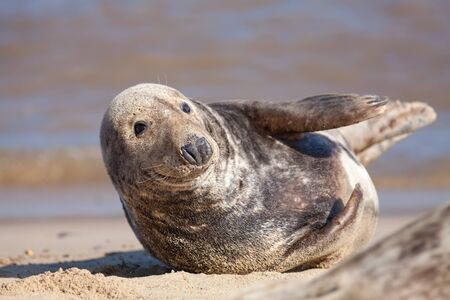 Adult grey (gray) seal from the Horsey colony UK. Animal portrait image of this beautiful dog-like mammal.