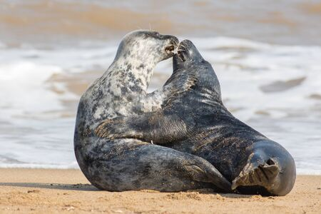 Animals in love. Wild seal lovers having sex on the beach. Passionate kiss during sexual intercourse. Emotions and feelings in nature. Funny meme image of mating pair of mammals hugging and snogging Фото со стока