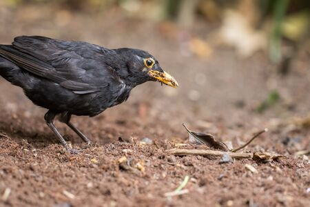 Hungry male blackbird (Turdus merula) close-up. Garden bird foraging for worm and insect food in turned soil. Common rural and urban wildlife nature image. Standard-Bild - 128084090