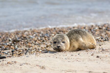Abandoned seal pup. Sad baby animal alone on beach. Cute young grey seal from the Horsey colony UK. Animal welfare meme image. Rescued and reunited. Standard-Bild - 128084166