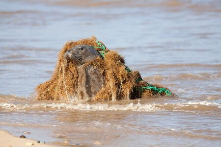 Animal welfare. Marine pollution. Seal caught in discarded plastic fishing net. Dangerous human waste causing suffering to ocean wildlife. Industry neglect. Seal from the Horsey colony UK later freed