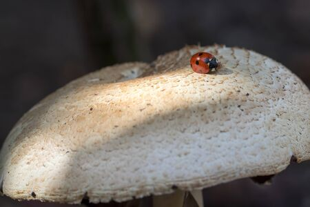 Ladybird or ladybug insect on wild mushroom. Garden nature image. This beetle appeared to be stuck by spores or a body secretion to this woodland fungus. Фото со стока
