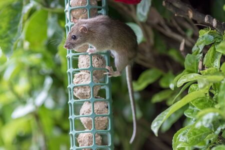 Young rat or mouse stealing food from garden bird feeder. Cute wildlife or vermin pest. Fat balls attracting uninvited rodent guest. Nature image of animal hanging from feeding station. Фото со стока