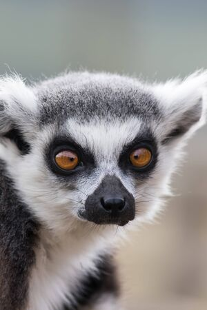 Cross-eyed face. Funny animal meme image of lemur looking cross-eyed. Ring-tailed lemur (Lemur catta) close-up. Dumb but cute looking animal with crossed eyes (convergent strabismus).