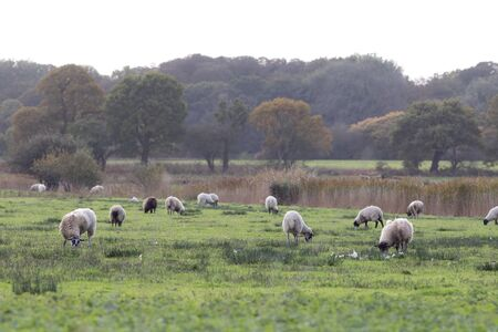 Rural England. Typical English agricultural countryside landscape scene. Sheep grazing in field.