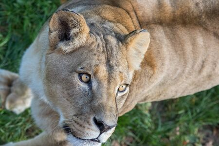 Lion. Close-up of lioness face looking up. Big beautiful wild African cat