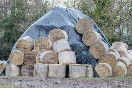 Round hay bales. Wet ruined and weather protected under polythene sheet. Hay or straw left in muddy field partially covered to avoid winter damage. Norfolk UK Banco de Imagens
