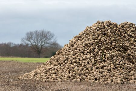 Sugar beet pile. Organic crop harvest from Norfolk UK. Sugar beet piled in newly harvested field. Winter agricultural farm crop. Banco de Imagens