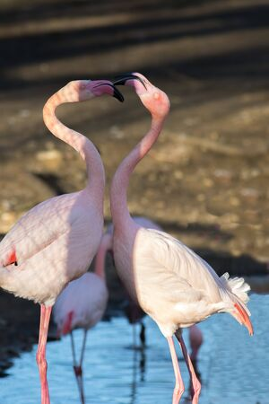 Flamingo love. Beautiful dancing birds. Pretty pink flamingos symbolizing love and togetherness. Bonding pair of animals. Beauty in nature.