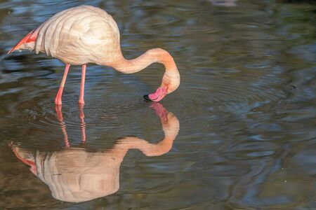 Animal Narcissism. Beautiful pink flamingo admiring its own reflection on the water. Narcissistic behaviour with apparent self-centred bird kiss. Funny animal meme image. Self awareness test.