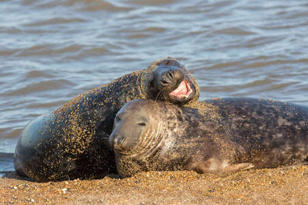 Funny animal meme image of two seals. One joking and larking around, the other in reluctant resignation. Stockfoto