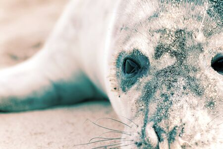 Vulnerable wildlife. Wild seal pup close-up. Dramatic high-contrast animal rights and welfare image. Head and face of a baby seal from Horsey colony UK. Vivid nature photograph with natural copy-space