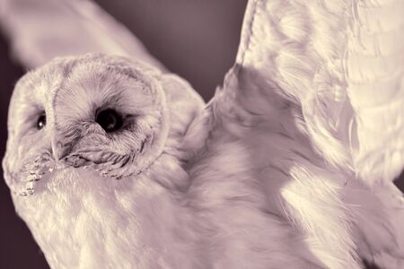 Owl. Sepia monochrome close-up of a bird taxidermy specimen. Vulnerable wildlife and nature image.