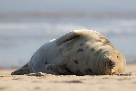 Sleeping beauty. Wild seal asleep on the beach. Simple animal portrait. Peaceful tranquil image of gentle giant snoozing peacefully. Beautiful nature. Easy life of tranquility for a lazy cuddly mammal