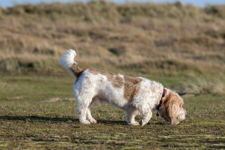 Grand Basset Griffon Vendeen. French basset hound dog smelling the grass. Full length profile picture of this pedigree dog sniffing the ground in prey drive hunting pose. Dog picking up the scent.