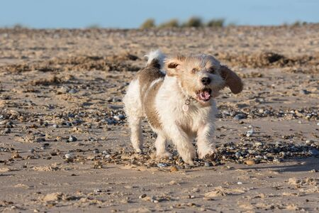 Surprised dog expression. Funny animal meme image of pet dog running on the beach. French basset hound pedigree Basset Griffon Vendeen GBGV having fun. Archivio Fotografico