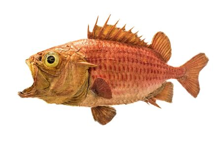 Japanese soldierfish Ostichthys japonicus. Soldier fish specimen isolated on white background. Brocade perch goldfish from the Andaman islands. Funny looking animal with wide open mouth.