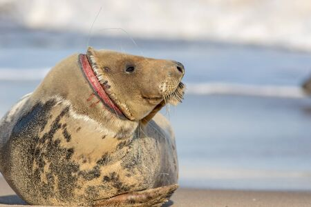 Animal welfare. Injured seal suffering from horrific neck wound by discarded fishing net line. Plastic marine pollution wildlife hazard. Sad nature meme image with message copy space. Horsey colony UK