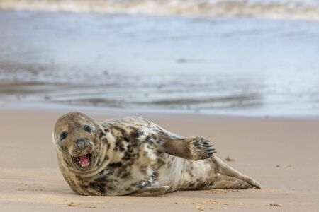 Happy healthy seal. Funny animal meme image of a beautiful friendly single solitary gray seal with mouth open as if laughing and pointing. From the Horsey colony UK. Archivio Fotografico