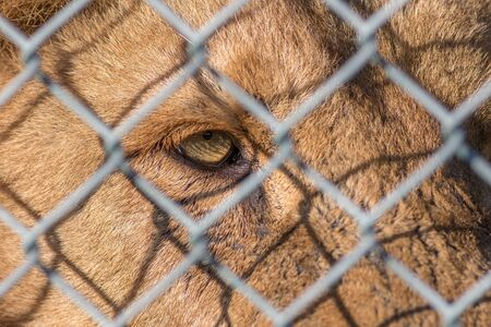 Caged animal. Eye of the beast. Close-up of beautiful zoo lion looking through fence. Weeping eye in close up with animal welfare and animal rights connotation. Philosophy of mind and ethics issues.