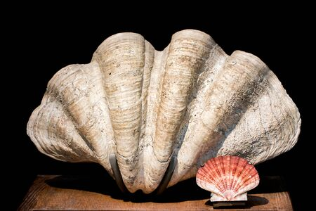 Giant clam Tridacna gigas bivalve mollusk and scallop shell specimens. Large Indo-pacific clam seashell against a scallop shell from the North sea. Conchology collection.
