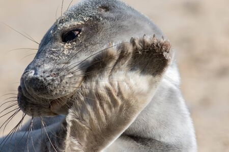 Grey seal face close-up. Bashful gray seal. Cute animal image. Coy young seal covering its face with a furry flipper. Shy marine mammal from the Horsey colony Norfolk Uk. Funny animal meme image. Stock Photo