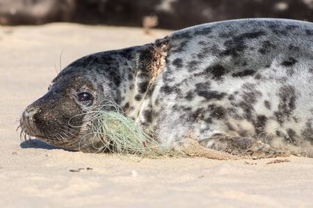 Plastic pollution. Fishing net line caught around seals neck. Animal welfare. The problem of marine pollution. Animal in distress. Wounded animal lying on the beach in Norfolk UK. Stock Photo