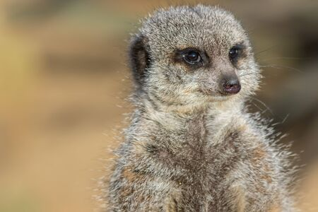 Meerkat face in close-up. Animal mind. Thoughtful creature thinking in close up with copy space. Stock Photo